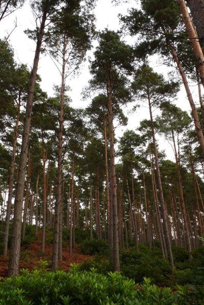 Swinley_forest