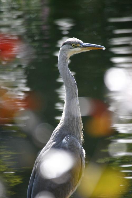 Beale_park_heron