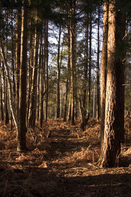 Sunlight_through_trees_2