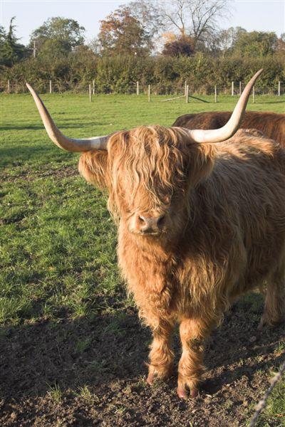 Hairy_highland_cattle_1