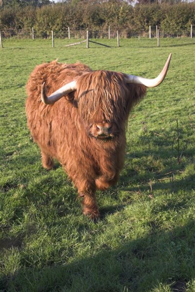 Hairy_highland_cattle_2