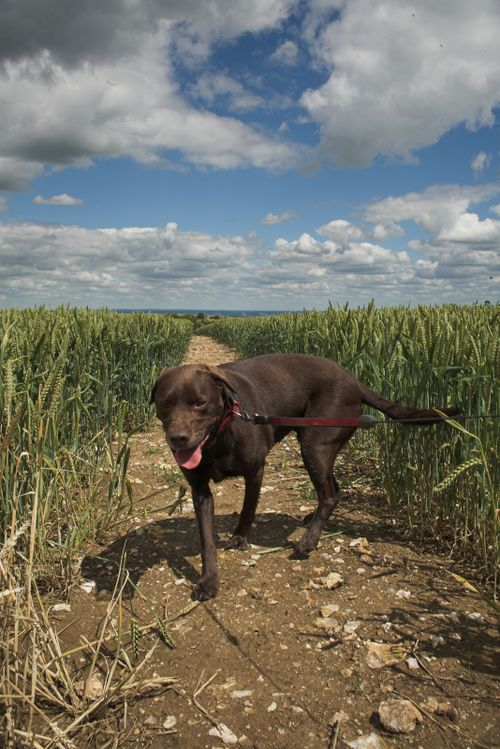 Chocky_finds_the_footpath_through_the_Wheat