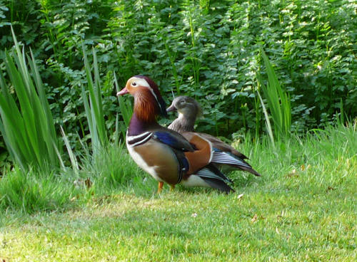 Harris_gardens_mandarin_ducks