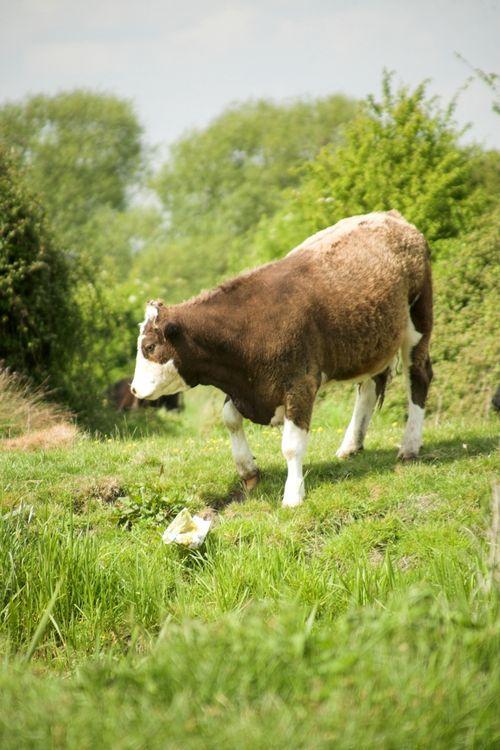 Cows #3