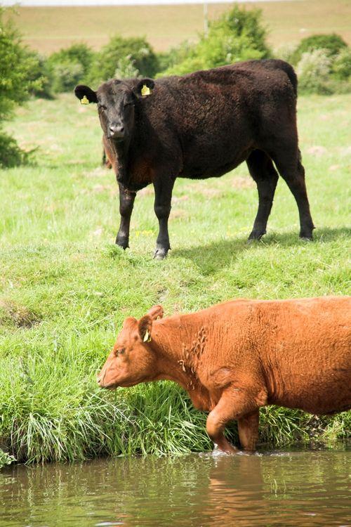 Cows #6