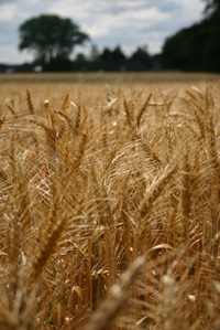 Golden_wheat_field